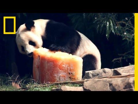 Birthday Cake for Panda   National Geographic thumbnail