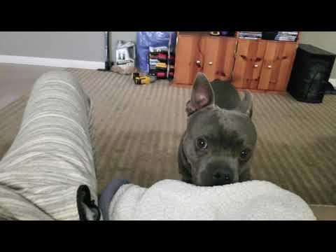 The Cutest French Bulldog Mixes - игровое видео смотреть