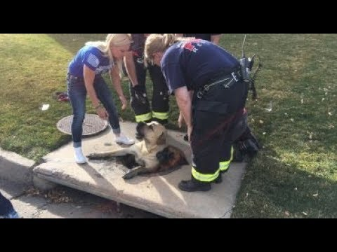 Firefighters rescue 3 mastiffs from storm drain in Jefferson County