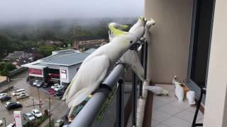 Смотреть онлайн Круто, когда к тебе на балкон прилетают попугаи