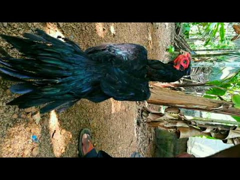 Parrot beak aseel chicks with big black hen - смотреть