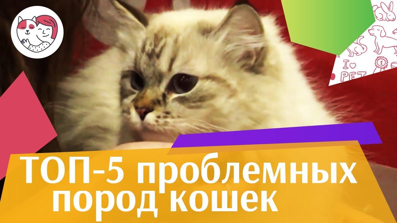 5 самых сложных в уходе пород кошек на ilikepet