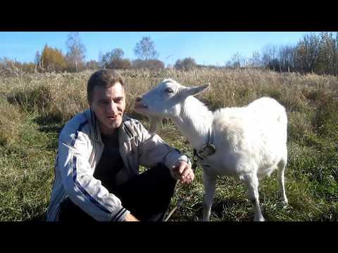 Всё о козах. Хочу завести козу. Для начинающих козаводов. Содержание разведения коз.