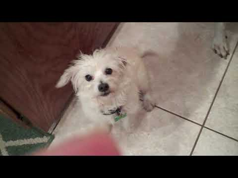 Emily, an adopted Maltese & Poodle Mix in Long Beach, CA