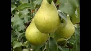 Саженцы яблони Арнабель (honey crispis) от компании Крестьянское фермерское хозяйство Сеянец - видео 1