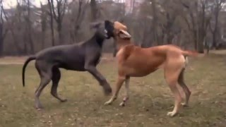 Great Dane Dog Breed Mating And Giving Birth