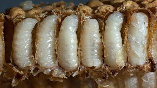 Queen Bee laying eggs