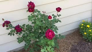 My Therapy Garden: Touring The  Hybrid Tea Rose Garden