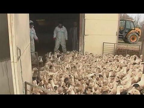 فرنسا تقرر اعدام قرابة 400 ألف بطة