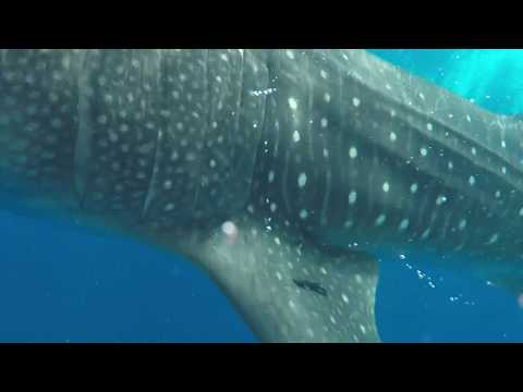 Swimming with Whale Sharks, Isla Holbox, Mexico 2018