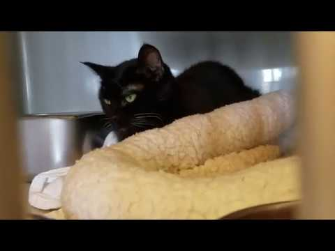 Gizzy, an adopted Domestic Short Hair Mix in Williamsport, PA