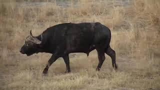 Djuma: Lone Buffalo - 17:49 -  08/23/19
