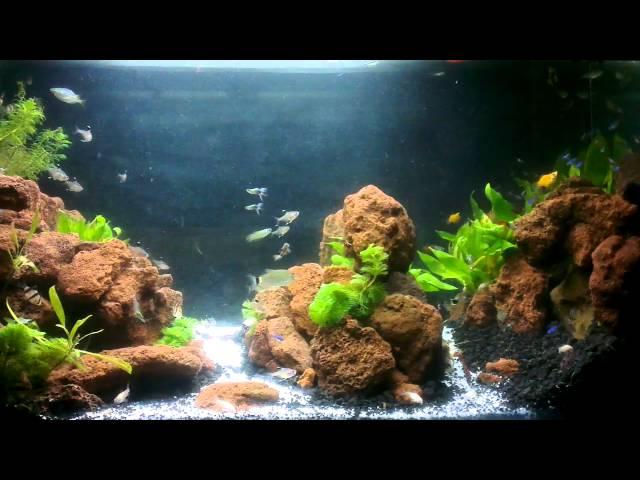 Aquascape - red stone, guppy, cardinal tetra, lobster, ...