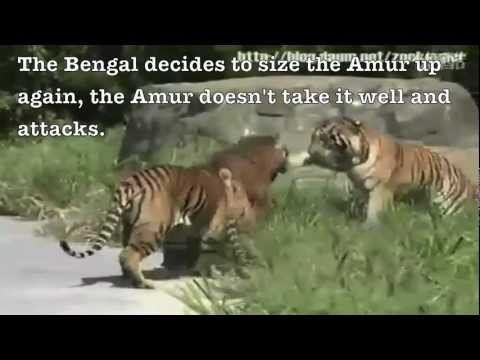 Siberian Tiger Vs. Bengal Tiger - Fighting Techniques