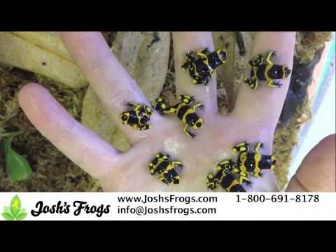 Likeable Leucomelas Dart Frogs