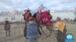 lapseki deve güreşleri
