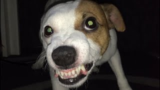 Angry Jack Russell Terrier Angry