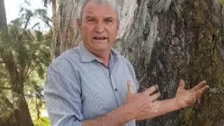 Yarran - White Gum Tree