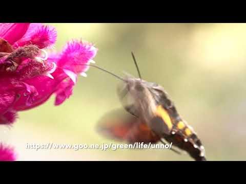 ローズリーフセージの花の蜜を吸うホシホウジャク