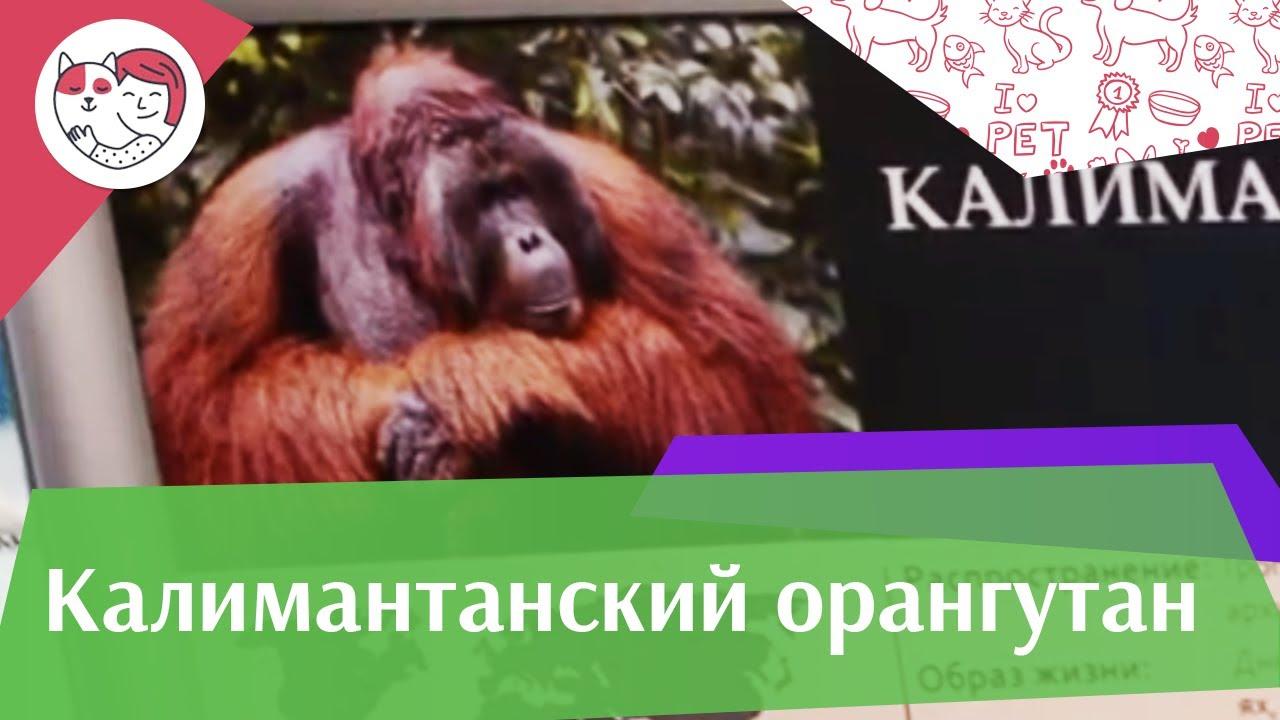 Калимантанский орангутан Внешний вид на ilikepet