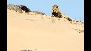 Lions de Namibie, les rois du désert [Documentaire animalier 2018 | HD]
