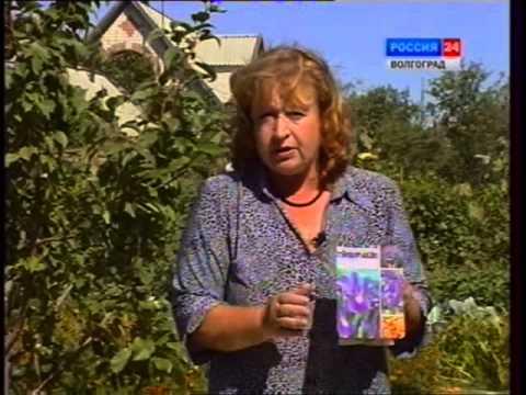 Лук болгарский