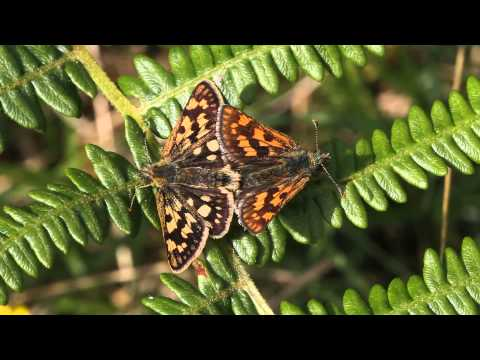 Chequered Skipper, Glasdrum Wood, 27-May-14