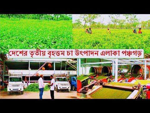 Third Largest Tea Zone Panchagarh !! দেশের তৃতীয় বৃহত্তম চা উৎপাদন এলাকা পঞ্চগড় !! Bangladesh