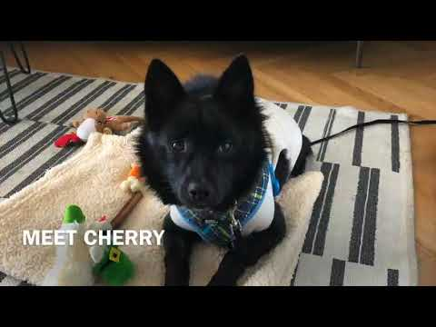 Cherry, an adopted Jindo & Spitz Mix in Brooklyn, NY_image-1