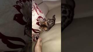 Mèo Bengal con học cách vồ chuột