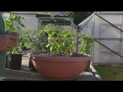 , title : 'The Best Ways to Grow Ornamental Pepper : Growing Peppers