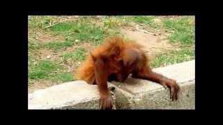 preview picture of video 'Monkeys in Tel Aviv Safari Zoo'