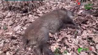 Новая вспышка АЧС на Харьковщине: уничтожат несколько сотен животных - 28.03.2017