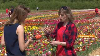 Местная Голландия на Волыни - 2 гектара полей с тюльпанами