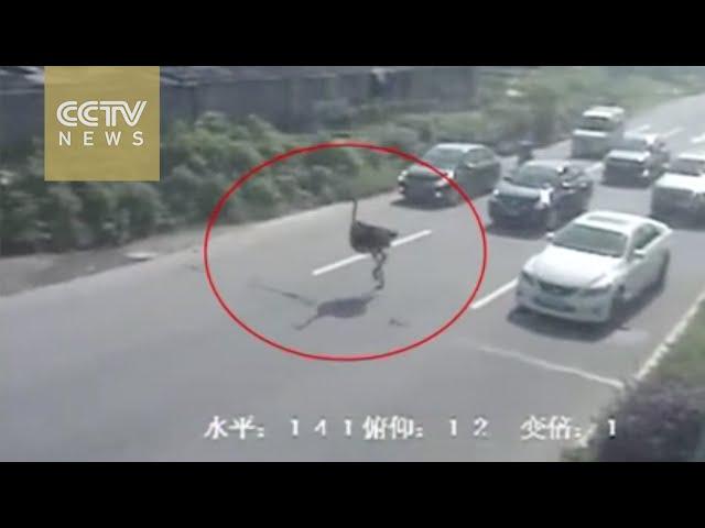 نعامة هاربة تسابق السيارات بأحد شوارع الصين