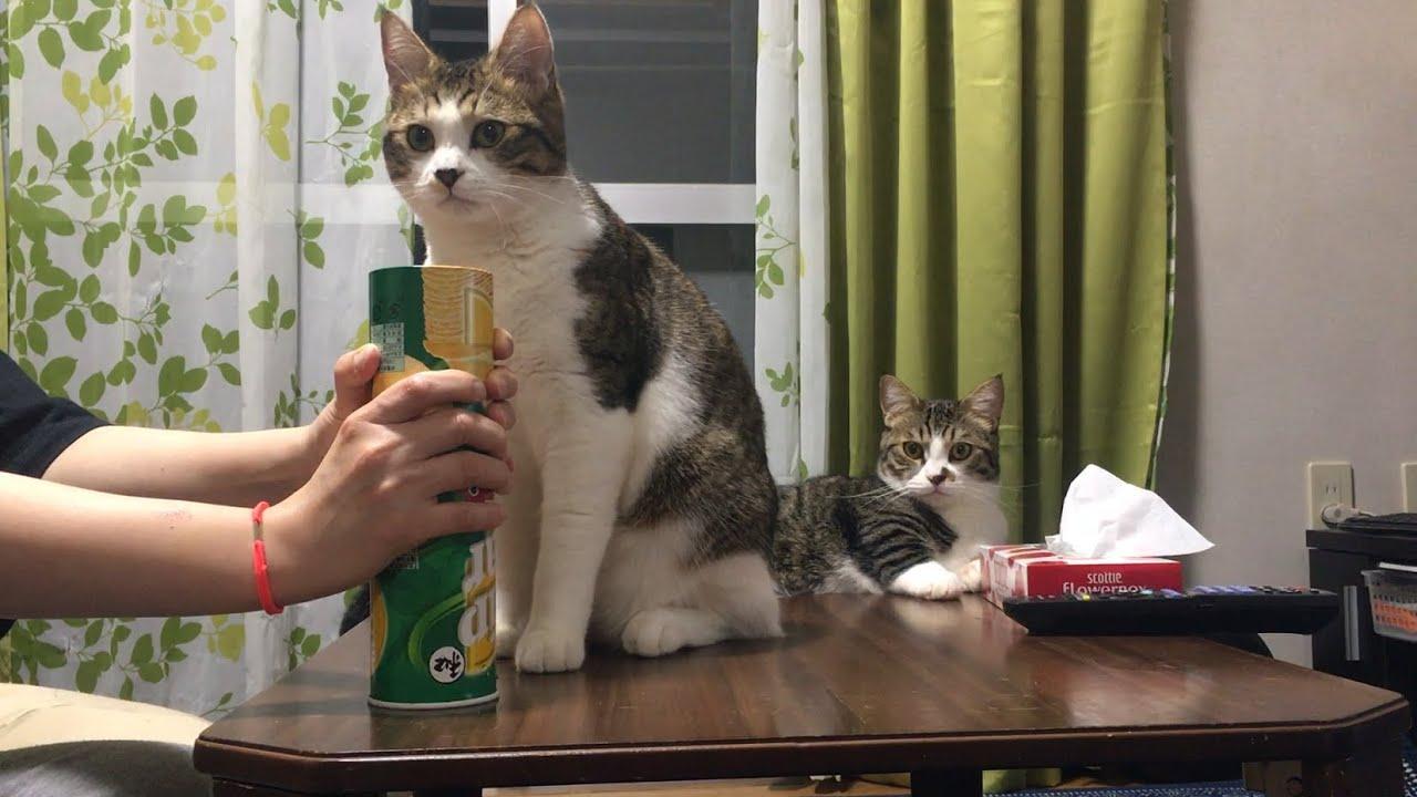 ギャップ萌えな猫 【ゆずぽんだより】