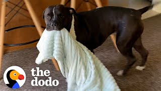 Pittie Brings His Security Blanket Everywhere | The Dodo Pittie Nation
