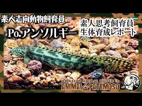 #02 素人思考動物飼育員の育成レポート 「ポリプテルス アンソルギー」【アクアリウム】【熱帯魚】