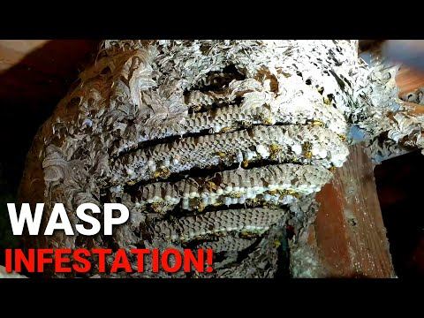 MASSIVE INFESTATION! Thousands Of Wasps above Basement Ceiling! Whats In YOUR House??