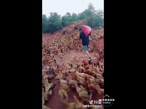Maior galinheiro do mundo #videosaleatoriosGarrinchapr