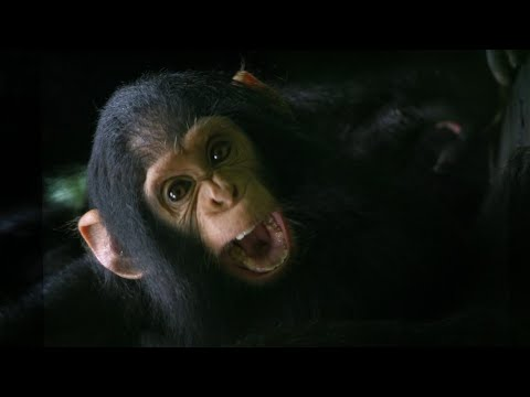 This Doctor Might Have Decoded the Language of Great Apes