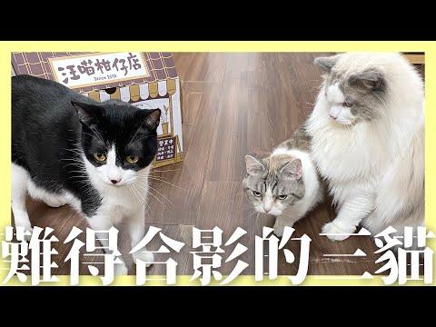 關關關兒vlog三隻貓日常