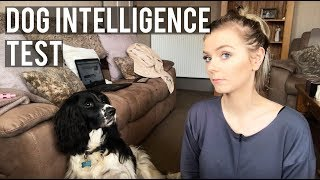 Testing My Dogs Intelligence | English Springer Spaniel