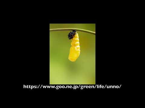 オオゴマダラの蛹化 タイムラプス