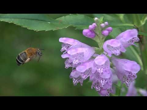 庭のコシブトハナバチの吸蜜