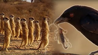 Download Youtube: Drongo Bird Tricks Meerkats | Africa | BBC