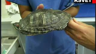 Manipulación Clínica de tortugas