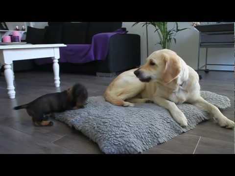 Meet Barney. The cutest Teckel pup plays with Golden Retriever Indy