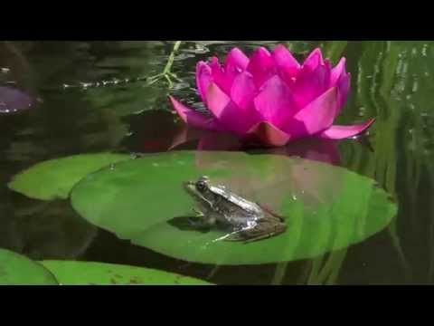 Frogs In My Garden Pond Eating Aphids From My Nearby Flower Patch HD Video With Slow Motion Scenes Mp3