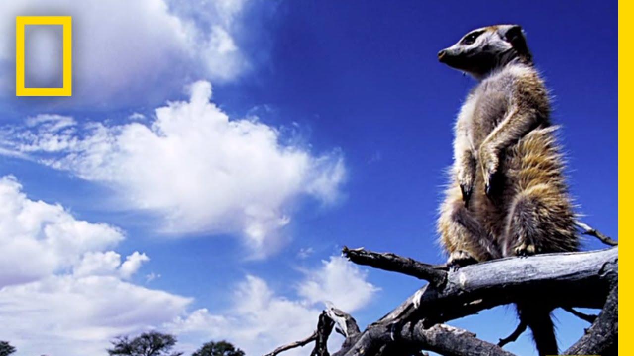 Revenge of the Meerkat | Nat Geo Live thumbnail